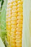 Sweet corn closeup Royalty Free Stock Image