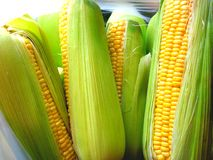 Sweet corn on a cob. Photo of uncooked sweet corn on a cob with skin still on Royalty Free Stock Photo