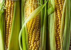 Sweet corn on cobs . Healthy organic food Stock Images