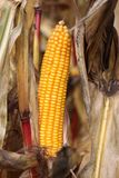Sweet Corn, Corn On The Cob, Maize, Commodity Royalty Free Stock Image