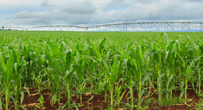 Sweet corn crop in Australia Stock Photography