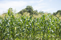 Sweet corn fields at a farm. Nature Stock Photos
