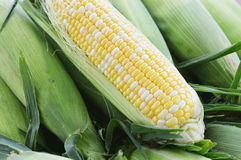 Sweet Corn. Fresh, organically grown, bi-color, sweet corn royalty free stock photography