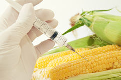 Sweet corn, genetic engineering stock photos