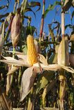Sweet corn harvest Royalty Free Stock Photography