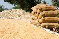 Sweet corn  harvesting Stock Images