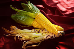 Sweet corn with morning light Royalty Free Stock Image