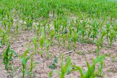 Sweet Corn plantation Stock Photo