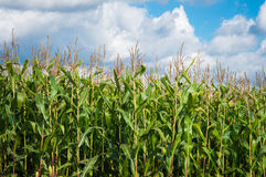 European Sweet Corn plantation Royalty Free Stock Photo