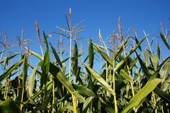 Sweet corn plants in field Royalty Free Stock Photos