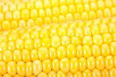 Sweet corn ripe Royalty Free Stock Photography