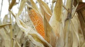Sweet corn. Ripe corn cob in cultivated agricultural corn field ready for harvest stock footage