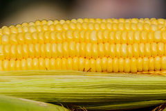 Sweet corn with some ears partially husked. Royalty Free Stock Images