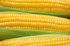 Sweet corns. Fresh corn on cobs on wooden table. Sweet corns. Fresh corn on cobs on wooden table Stock Photo