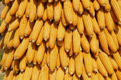 Sweet corns yellow. Yellow Textures sweet corn background Stock Images