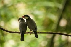 Sweet couple of Java Sparrow on a branch Stock Photos