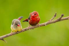 Sweet couple Red Avadavat Stock Photos
