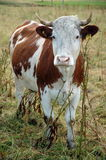 Sweet cow. A cow with big beautiful eyes royalty free stock image