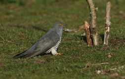 A stunning Cuckoo, Cuculus canorus, searching on the ground in a meadow for food. It has its beak open after swallowing an insect. A sweet Cuckoo, Cuculus royalty free stock photo