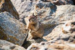 Sweet curious california ground squirrel, animal in california Stock Photos
