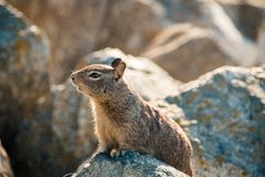 Sweet curious california ground squirrel, animal in california Royalty Free Stock Photography