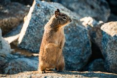 Sweet curious california ground squirrel standing upright, anima. L in california Royalty Free Stock Image