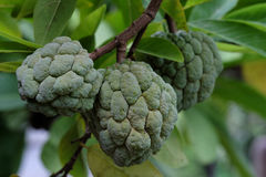 Sweet custard apple in Thailand Royalty Free Stock Photo