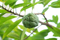 Sweet custard apple in Thailand Royalty Free Stock Image