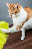 Sweet cute cat in home Royalty Free Stock Image