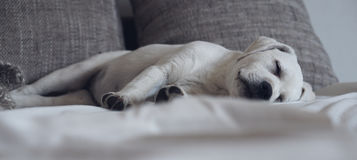 Sweet cute Labrador puppy dog sleeping on the couch in his bed Royalty Free Stock Photo