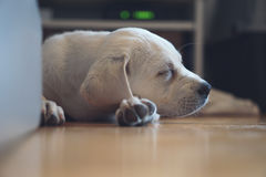 Sweet cute Labrador puppy dog sleeping on the couch in his bed Royalty Free Stock Photos