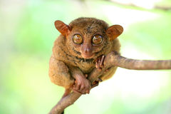 Sweet and cute smiling tarsier sitting on a tree Royalty Free Stock Photos