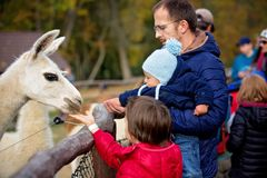 Sweet cute toddler child, feeding lama on a kids farm stock photo