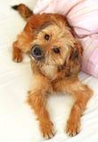 Sweet Dog Royalty Free Stock Image