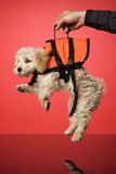 Sweet Dog. With Life Jacket royalty free stock photography