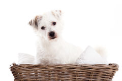 Sweet dog in basket. Happy dog photographed in the studio on a white background stock image