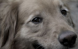 Sweet dog. Cute, sweet dogs eyes. Golden Retriever with beautiful eyes Royalty Free Stock Photography