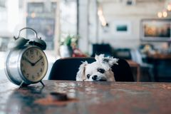 Sweet dog look something in coffee shop with clock royalty free stock images