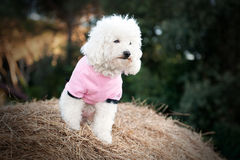 Sweet dog dressed in pink Royalty Free Stock Photos