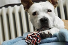 A sweet dog with his favorite toy royalty free stock photography