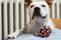 A sweet dog with his favorite toy royalty free stock photos