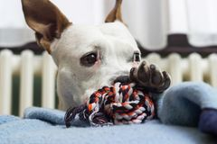 A sweet dog with his favorite toy stock images