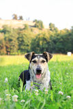 Sweet dog lying on the green grass in countryside Royalty Free Stock Photography