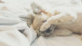 Sweet dog sleep lies on a bed of white veil Stock Photography