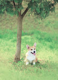 Sweet dog Welsh Corgi Pembroke sitting on the grass near tree Royalty Free Stock Photos