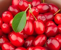 Sweet dogberry close up Royalty Free Stock Images