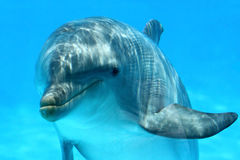 Sweet Dolphin. Ocean Life - Curious dolphin watching the camera royalty free stock photo