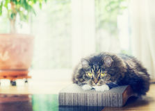 Sweet domestic cat lying and looking at camera at living room background. With window Royalty Free Stock Photos