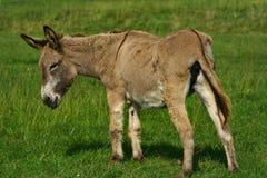 Sweet donkey Royalty Free Stock Photos