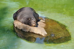 Sweet dream baby seal Royalty Free Stock Photo